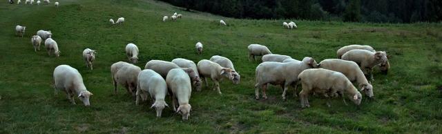 Разведение овец как бизнес для начинающих: пошаговая инструкция, бизнес-план с расчетами
